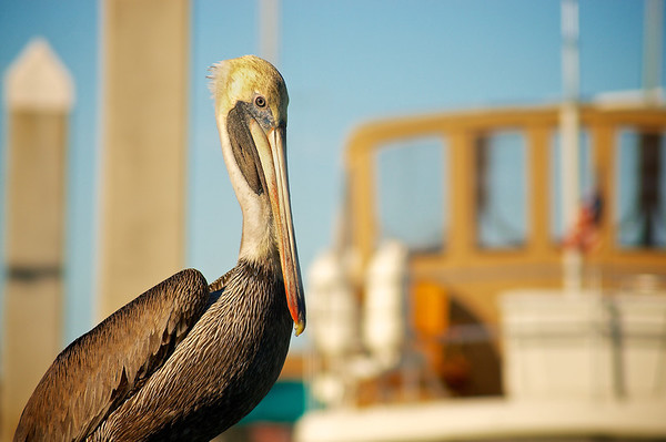 Pelican keeping watch